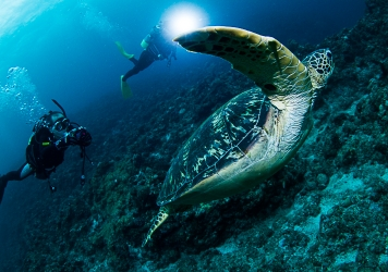 宮古島で主に逢えるウミガメ2種