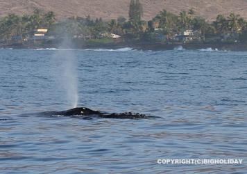 ハワイツアー2013|海獣編クジラ