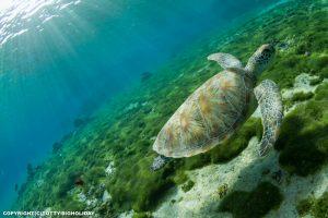 宮古島ではシュノーケリングでウミガメに会える