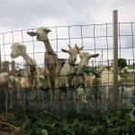 上野のヤギ一家