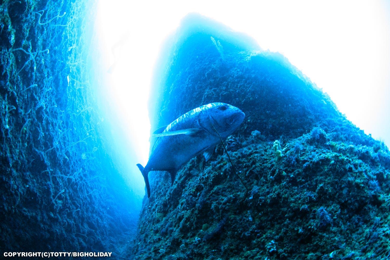 宮古島で会える大物:ロウニンアジ