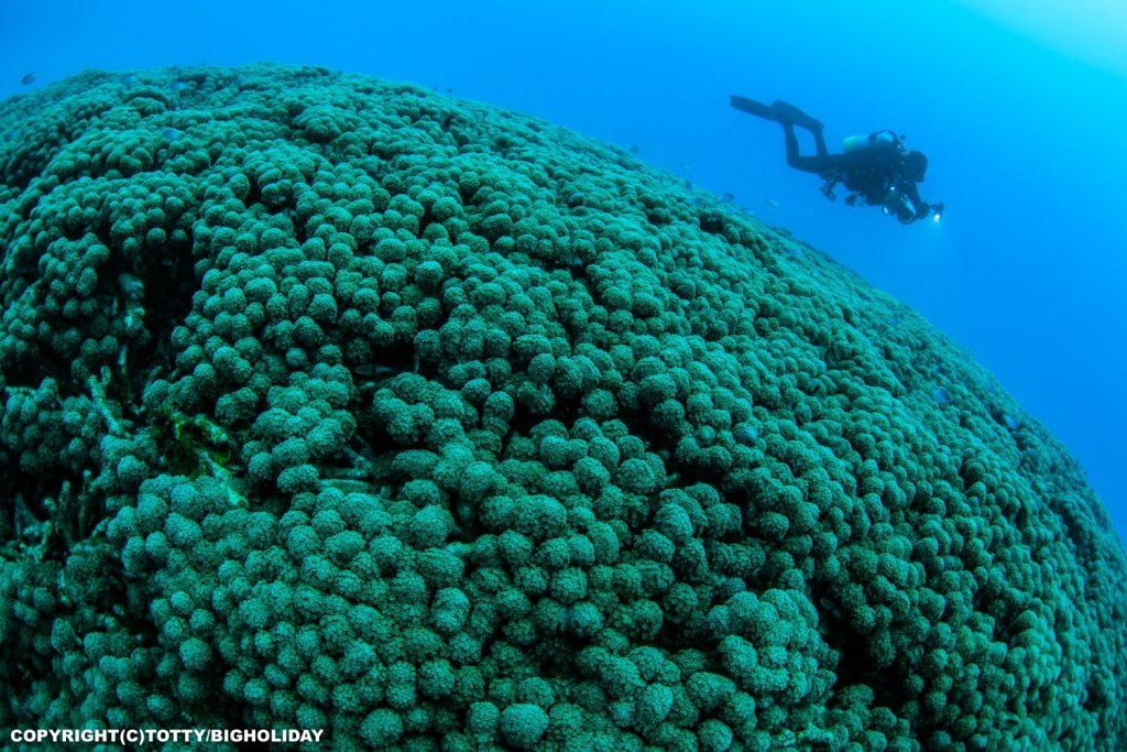 パンドラハナガササンゴ