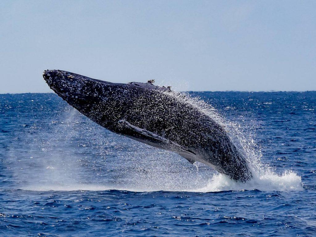 徳之島クジラのブリーチ