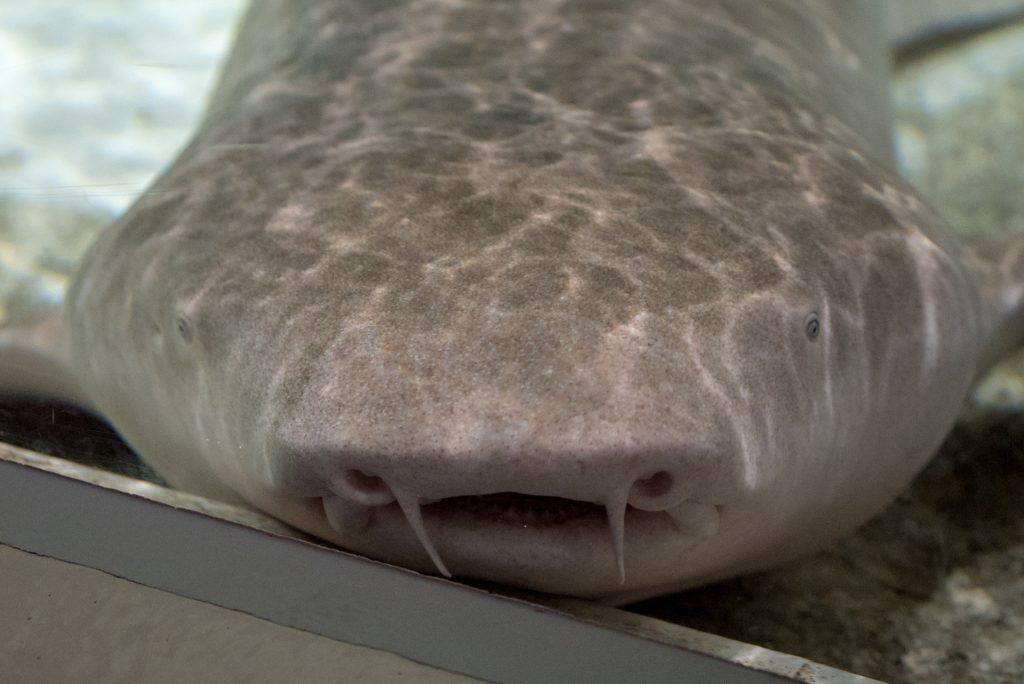 オオテンジクザメ